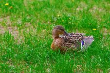 Free Brown Duck Royalty Free Stock Photography - 14543377