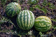 Free Ripe Water-melons Stock Photos - 14543493