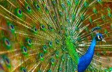 Free Peacock Love Dance Wing Show Stock Image - 14543791