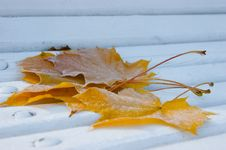 Free Frozen Maple Leafes Stock Image - 14544751