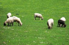 Free Sheep On A A Pasture Stock Photography - 14544872