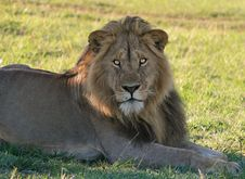 Free Young Male Lion Stock Images - 14545004