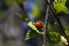 Free Ladybird Stock Photo - 14545150