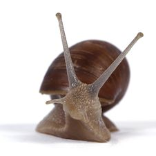 Free Edible Snails Stock Images - 14545274