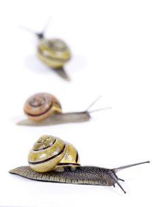 Free White-lipped Snails Royalty Free Stock Image - 14545296