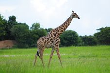 Free Giraffe Royalty Free Stock Images - 14546999
