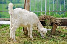 Free Little Goat Stock Photo - 14547420