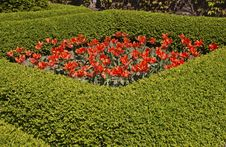Tulip Flowers Surrounded By Hedge Stock Photos