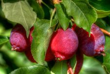 Free Crab Apples Stock Photos - 14547493