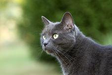 Free Attentive Blue Cat Stock Photo - 14547530