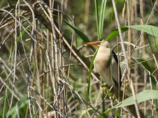 Free Male Little Bittern Royalty Free Stock Photography - 14547557