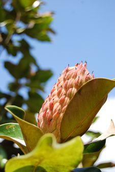 Free Magnolia Blossom Royalty Free Stock Image - 14547986
