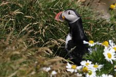 Free Atlantic Puffin In Front Of Nest Entrance Royalty Free Stock Photos - 14548008