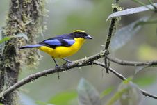 Free Blue-winged Mountain Tanager Stock Images - 14548454