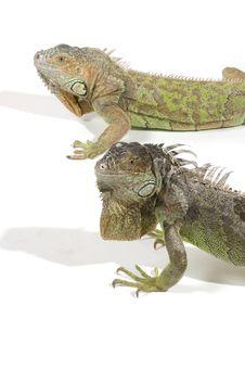 Iguana With Big Beard Stock Images
