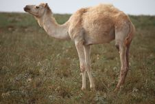 Free White Camel On Pasture Stock Photography - 14548752