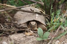 Free African Turtle Moving In Grass Stock Photos - 14548783