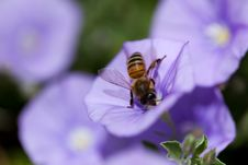 Free Bee On Violet Flower Royalty Free Stock Photos - 14549018