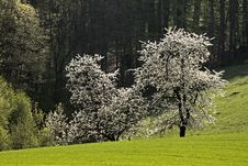Free Cherry Trees In Spring, Hagen, Germany Stock Photography - 14549042