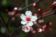 Free Flowering Cherry Tree Stock Photos - 14549123