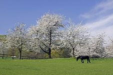 Free Spring Landscape With Cherry Trees And Horse Royalty Free Stock Images - 14549149