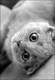 Free Gray-eared British Kitten With Big Eyes Royalty Free Stock Images - 14549199