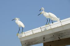 Free Snowy Egrets On A Roof Royalty Free Stock Images - 14549609