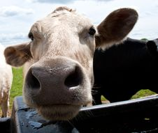 Free Listening Cow Stock Photography - 14549852