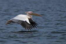 Free Great White Pelican In Flight Royalty Free Stock Photos - 14549878