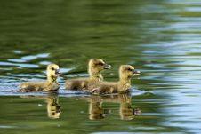 Free Greylag Goslings On Water Stock Image - 14549891
