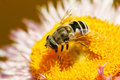 Free Hoverfly Royalty Free Stock Photography - 14553047