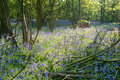 Free Bluebells In The Wood Stock Images - 14554154
