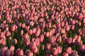 Free Pink Tulips Stock Image - 14558911