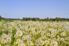 Free Field Of Dandelions Stock Photos - 14550193