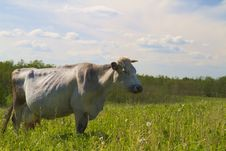 Free Cow On Meadow Stock Photo - 14550200