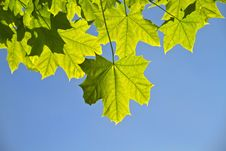Free Young Leaves, Backlight Royalty Free Stock Photos - 14550218