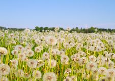 Free Blowballs On Meadow Stock Photography - 14550242