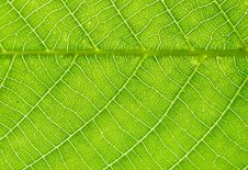 Free Nut-tree Leaf Texture Royalty Free Stock Photography - 14550817