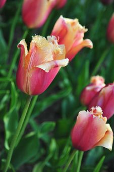 Free Tulips Stock Photos - 14550863