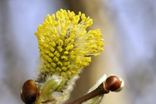 Free Blossoming Willow. Stock Photos - 14551323