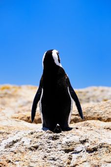 Free South African Penguin Stock Photography - 14551452