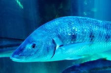 Big Blue Fish Stock Photo