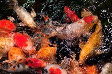 Free Koy Fish 3 Royalty Free Stock Photo - 14552165