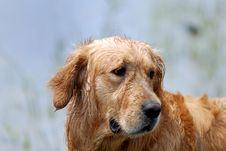 Free Dog-Golden Retriever Stock Photo - 14552610