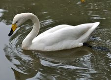 Free A White Swan Is Swimming In Water Royalty Free Stock Image - 14552656