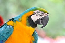 Portrait Of A Blue And Yellow Macaw Royalty Free Stock Images