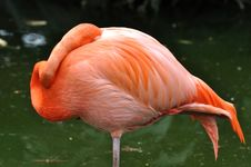 Free A Flamingo Bird In Sleeping Stock Image - 14552681
