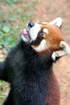 Chinese Red Panda Royalty Free Stock Images