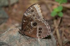 Free Owl Butterfly Royalty Free Stock Photography - 14552777