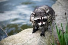 Free Closeup Of A Raccoon By Water Royalty Free Stock Photos - 14553048